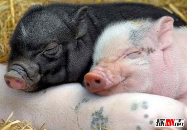 猪的智商相当于人几岁?猪的十大有趣之处